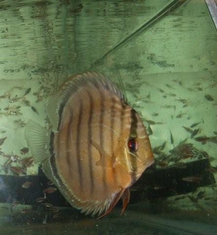 Peces ornamentales de criadero y rio clasificados for Criadero de peces ornamentales