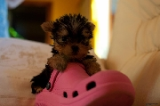 Yorkshire terrier preciosos cachorritos