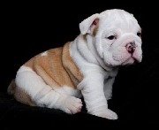 Xmas english bulldog puppies